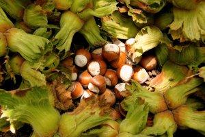 Samsun'da fındık hasadına başlama ve ihraç tarihleri açıklandı.