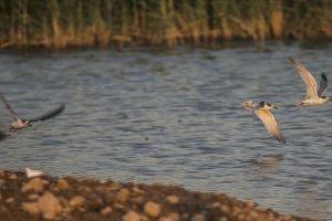 Reyhanlı Barajı'nın kuş envanterine 16 yeni tür görüntülendi