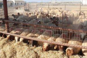 TİKA KKTC'deki çiftçilere hayvan desteği için yeni bir proje başlattı
